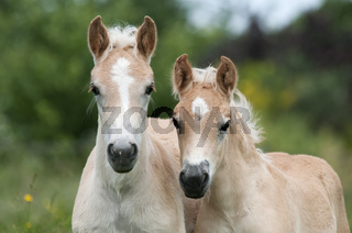 Zwei Haflinger Fohlen, Hengstfohlen