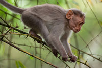 Small macaque monkey walking in bamboo forest