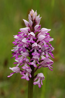 Helmknabenkraut  Orchis militaris Blütenstand