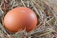 brown chicken egg in a nest