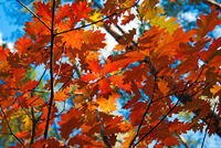 Autumn red oak leaves