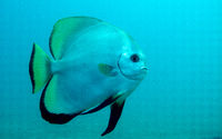 batfish swimming