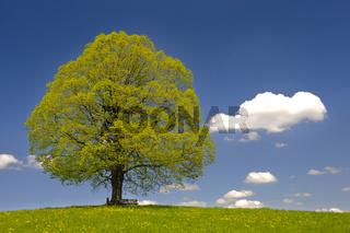 Alte Linde als Einzelbaum