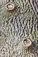 bark on the trunk of an old oak