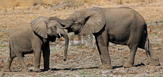 Junge Elefanten im Lower Zambezi Nationalpark, Sambia; Loxodonta africana; young elephants at Lower Zambezi National Park, Zambia