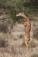 Gerenuk feeding on a branch