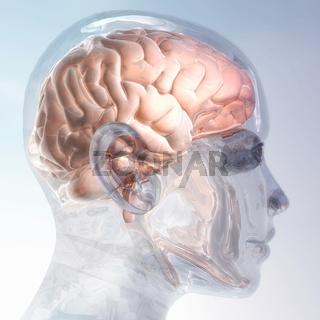 Meschliches Gehirn