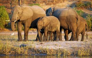 Elefanten am Ufer des Chobe, Botswana; Loxodonta africana; elephants at riverside of Chobe, Botsuana