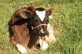 Calf Lying Down