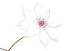 White Clematis Snow Queen