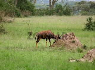 Common Tsessebe in the savannah