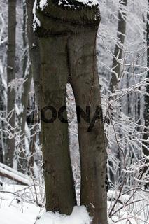 Baumhosenbeine - geteilter Baumstamm