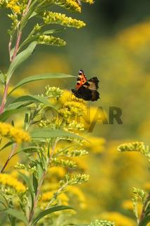 Goldrute mit Schmetterling, kleiner Fuchs