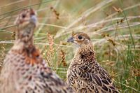 Pheasant hen with fledgeling