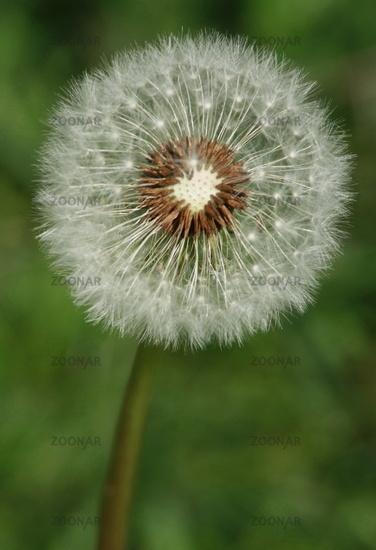 Dandelion, dandelion 1