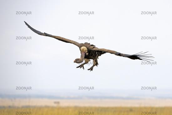 Sperbergeier (Gyps rueppellii) fliegt üeber die Masai Mara, Keni