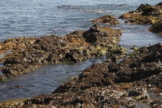 Colony of common eider (Somateria mollissima) ducks in Hvalness