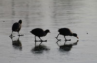 Coots in winter searching food