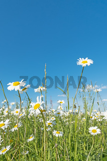 Meadow with marguerites