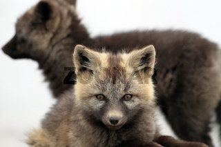 Silver Phase Red Fox Silberfuchs