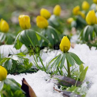 Winterling - winter aconite 02