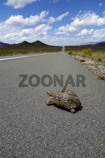 Turtle - Crossing Road