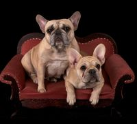 Franzoesische Bulldogge, Bulldogge, French Bulldog