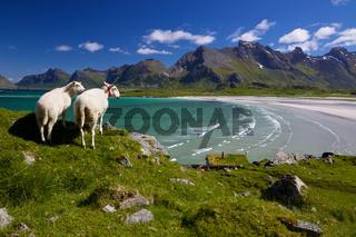 Sheep farm on Lofoten
