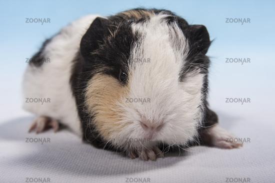 tricolour guinea pig baby