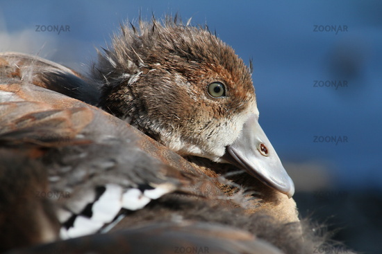 Egyptian Goose, portrait of a gosling