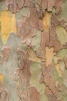 Planetree bark - Platanus