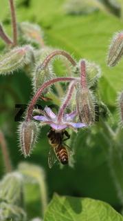 Borretsch mit Biene