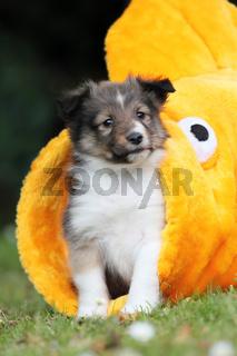 American Shetland Sheepdog Welpe