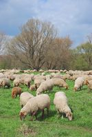 grazing Sheep at Lower Rhine,Germany
