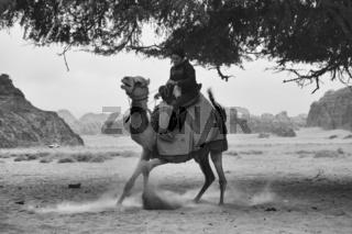 Beduine reitet ein Kamel in Wadi Rum