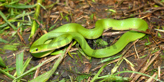 Smooth Green Snake (Opheodrys vernalis)
