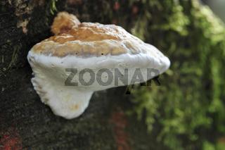 Fichtenporling, Rotrandiger Baumschwamm, Fomitopsis pinicola,