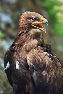 Close up of the head of a beautiful eagle