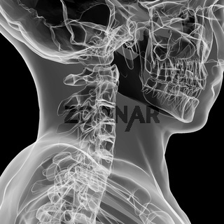 X-ray view of human cervical spine