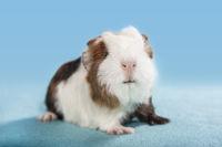 guinea pig baby studio