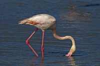 Greater Flamingo filtering water for food,Camargue