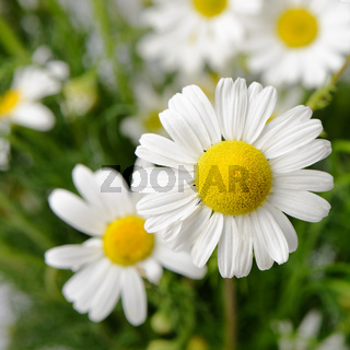 Wild chamomile with reflection in water.