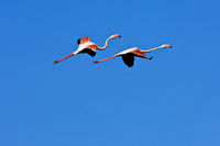 Greater Flamingos(Phoenicopterus roseus)  in fligh