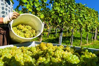 Weinlese im Weingarten