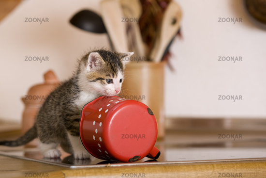 cat / kitten licking milk from milk-pot