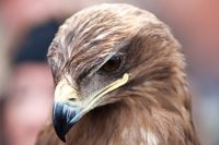 Closeup portrait of an eagles head