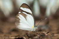 Mud-puddling Black-banded Whites butterfly