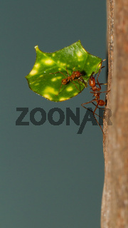 A leaf cutter ant