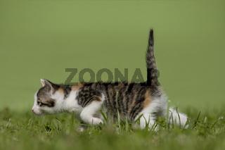 Katze, Kaetzchen gehend,rennend auf Wiese, Cat, kitten walking, running on a meadow
