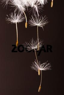 Dandelion seeds  flying away